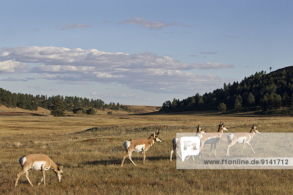 Pronghorn (Antilocapra americana)  buck and does  Custer State Park  South Dakota.