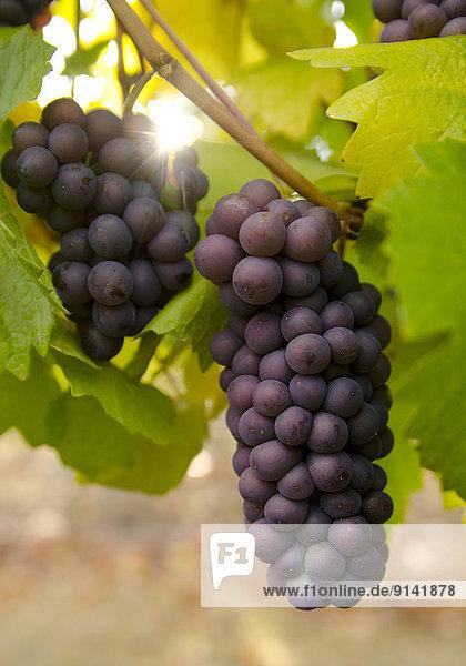 Weingut  Wohngebäude  Wein  Start  ernten  Weintraube  Weinberg  Geographie  britisch  Kanada