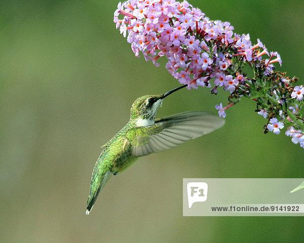 Female ruby throated hummingbird  Archilochus colubris  feeding on milkweed