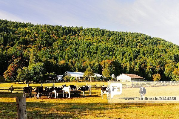 Hausrind  Hausrinder  Kuh  nahe  Milchprodukt  Feld  Kanada  füttern