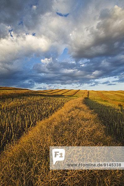 mature  harvest ready canola swaths  near Somerset  Manitoba  Canada
