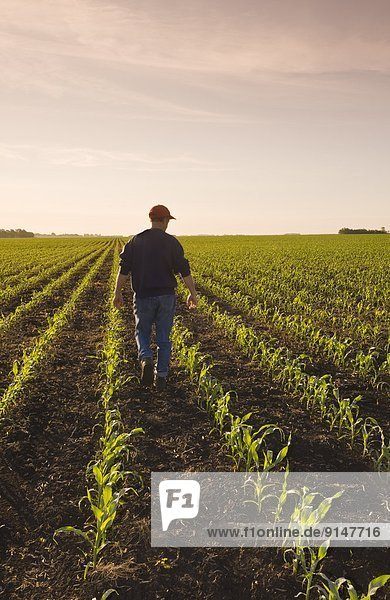 Mais Zuckermais Kukuruz Getreide Horizont strecken Wachstum Feld früh Bauer füttern Pfadfinder