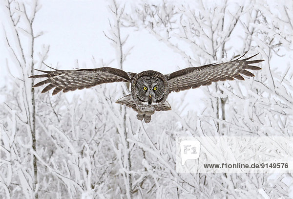 Great Gray Owl,  Strix nebulosa,  in flight at the Nisbet Forest,  Saskatchewan,  Canada