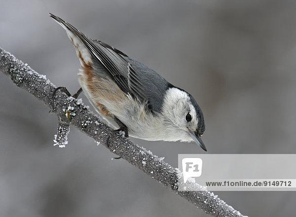 Hecht  Esox lucius  Baum  See  Ast  hocken - Tier  Kälte  Saskatchewan  Carolinakleiber  Sitta carolinensis  Hecht