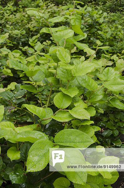Amerika Heidekraut Erica herbacea Erica carnea Ethnisches Erscheinungsbild Strauch