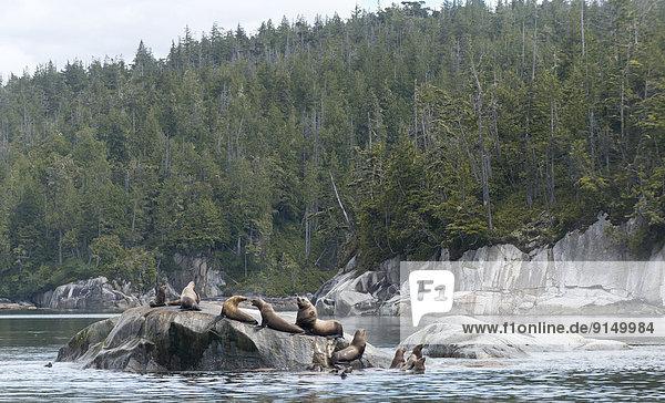 Insel Königin Stellersche Seelöwe Eumetopias jubatus Broughton Archipelago British Columbia Kanada Meerenge