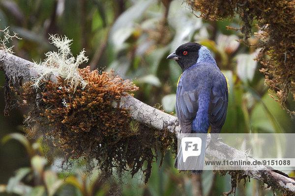 Berg  Ast  Kapuzenjacke  hocken - Tier  Bolivien  Südamerika  Tangar