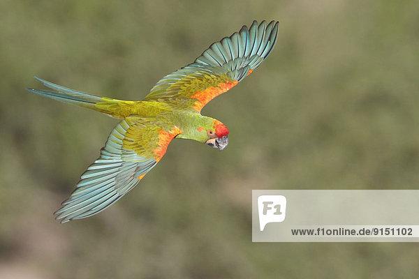 fliegen  fliegt  fliegend  Flug  Flüge  rot  Papagei  Bolivien  Ara  Südamerika
