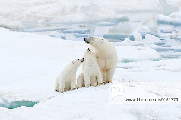Eisbär  Ursus maritimus  Jungtier  Mutter - Mensch