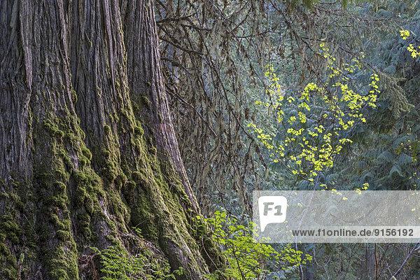 Riesen-Lebensbaum  Thuja plicata  British Columbia  Kanada