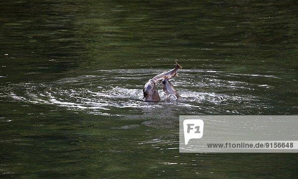 Hafen Angriff angreifen Regen Fluss 2 Lachs Seelöwe Laich Sunshine Coast