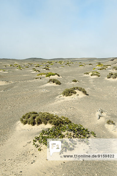 Sanddünen mit karger Vegetation  Skeleton Coast National Park  Namibia