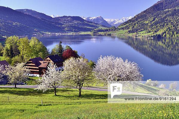 Blume Baum Kirsche Fokus auf den Vordergrund Fokus auf dem Vordergrund Schweiz Kanton Zug