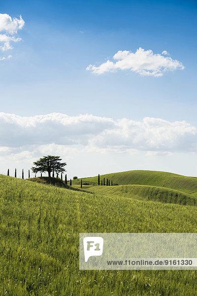 Zypressen und Zeder  Val d'Orcia  bei Buonconvento  Provinz Siena  Toskana  Italien