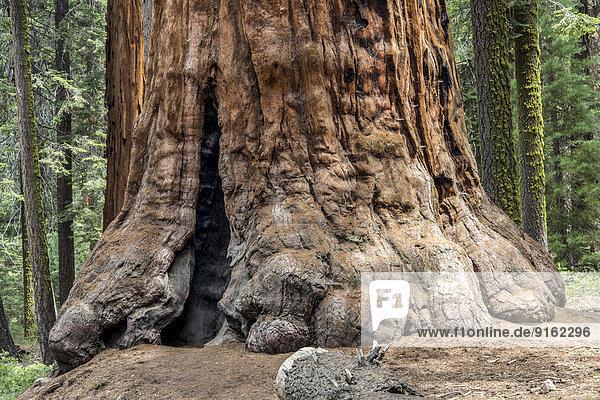 Stamm eines Mammutbaums (Sequoioideae)  Porterville  Sequoia-Nationalpark  Kalifornien  USA