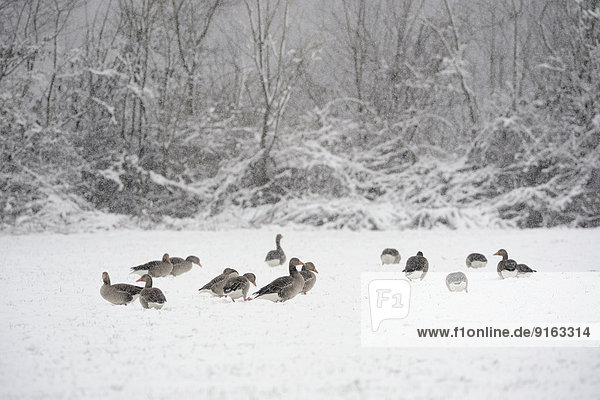 Greylag geese (Anser anser) in the snow  Xanten  Lower Rhine region  North Rhine-Westphalia  Germany