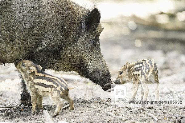 Wildschwein-Frischlinge mit ihrer Mutter im Wald Wildschwein-Frischlinge mit ihrer Mutter im Wald