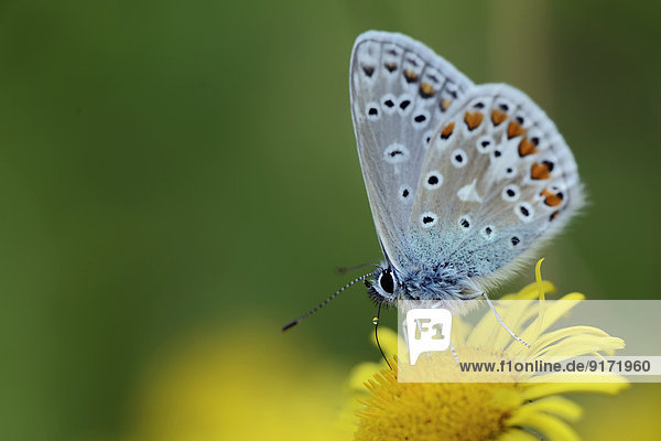 Germany  Common blue butterfly  Polyommatus icarus  sitting on plant