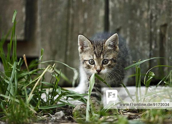 Tabby Kätzchen  Felis silvestris catus  Spaziergang vor der alten Scheune