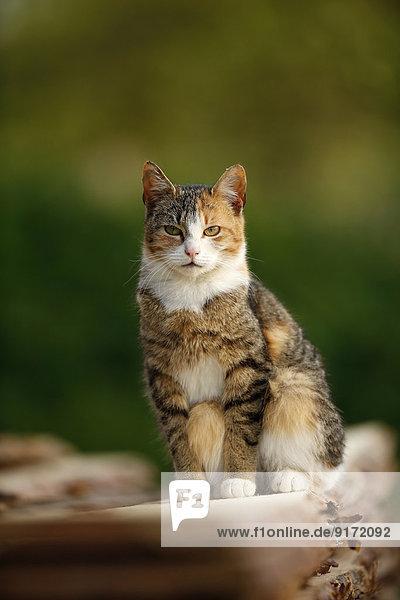 Germany  Baden-Wuerttemberg  Tricolor cat  Felis silvestris catus  sitting on stack of wood