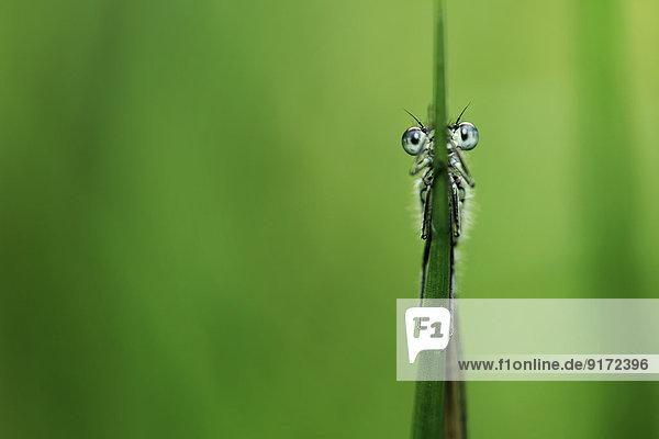 Azure damselfly  Coenagrion puella  hanging on blade Azure damselfly, Coenagrion puella, hanging on blade