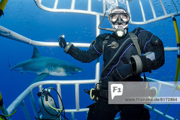 Mexico  Guadalupe  Pacific Ocean  scuba diver in shark cage with white shark  Carcharodon carcharias  in the background