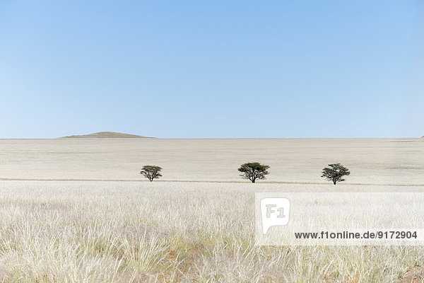 Africa  Namibia  Namib Naukluft area  grasslands with trees