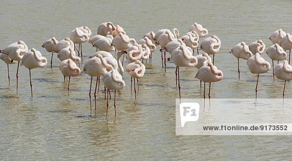 France  Provence Alpes Cote d'Azur  Camargue  sleeping flamingos  Phoenicopterus roseus