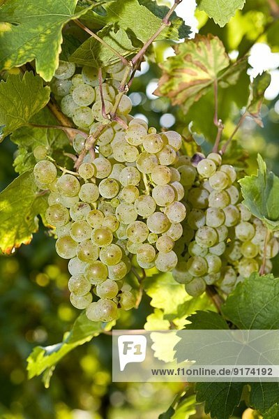 Green grapes  Vitis vinifera  close-up