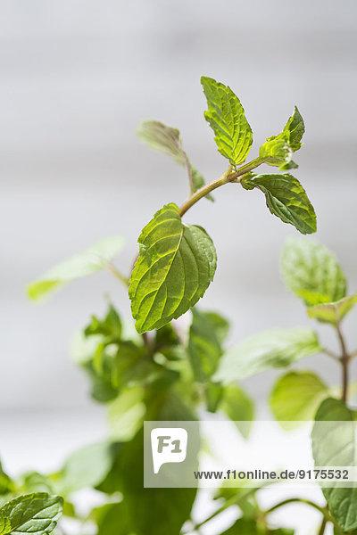 Pfefferminze  Mentha piperita  Blätter  Nahaufnahme