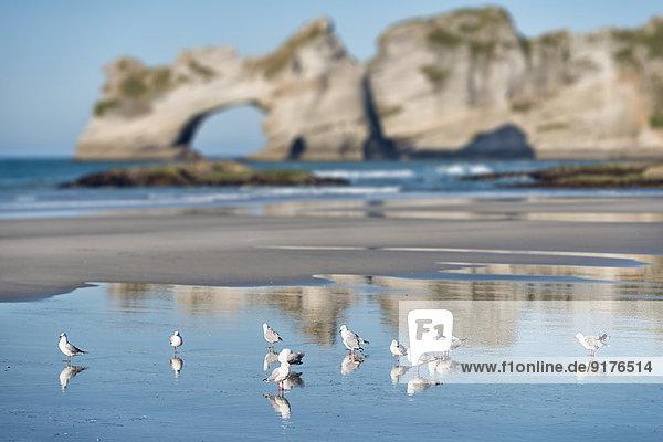 Neuseeland  Golden Bay  Wharariki Beach  Möwenschwarm im Sand am Strand bei Ebbe
