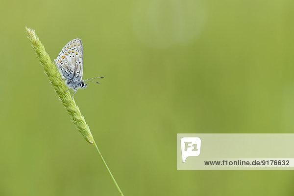 Brauner Argus  Aricia agestis  auf einem Grashalm sitzend