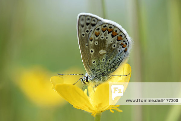 Gemeiner blauer Schmetterling  Polyommatus icarus  auf gelber Blüte sitzend