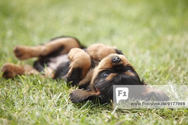 Cavalier King Charles spaniel puppy lying on back on a meadow