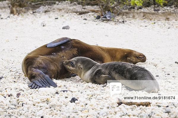 Ecuador  Galapagos  Genovesa  Galapagos Seelöwen  Zalophus wollebaekii  am Strand