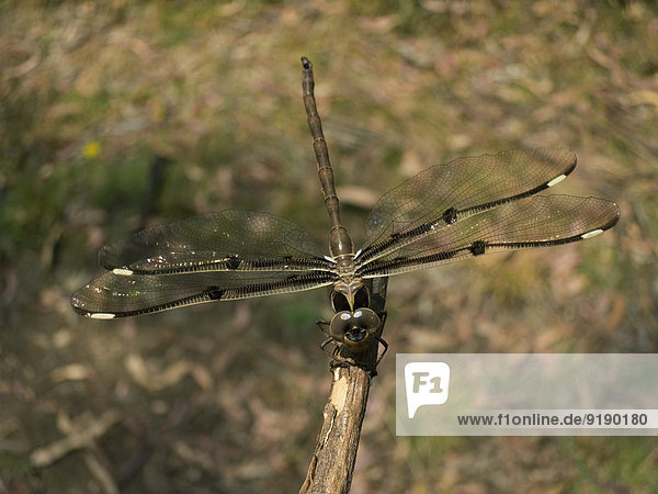 Libelle sitzt auf einem Ast