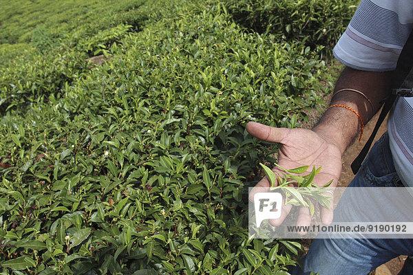 Abgeschnittenes Bild eines Mannes mit Teeblättern auf dem Feld