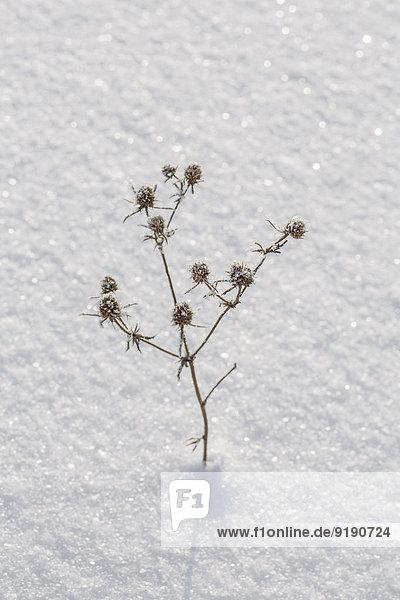 Hochwinkelansicht der trockenen Pflanze im Schnee