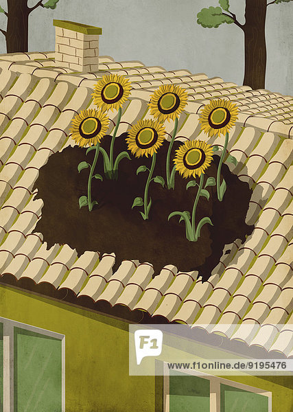 Dach Wachstum Sonnenblume helianthus annuus