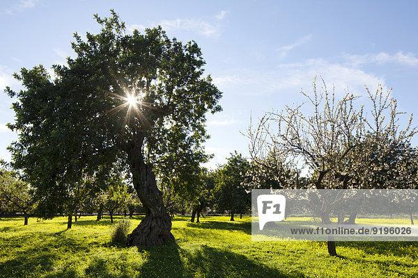 Stein-Eichen (Quercus ilex) und Mandelbäume (Prunus dulcis) auf blühender Kleewiese  Mallorca  Balearen  Spanien