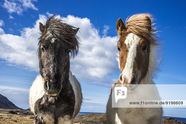 Zwei Islandpferde am Hvalfjord  Höfudborgarsvaedid  Island Zwei Islandpferde am Hvalfjord, Höfudborgarsvaedid, Island