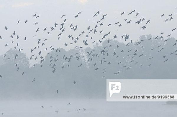 Flock of cormorants (Phalacocorax carbo) flying in the mist  North Rhine-Westphalia  Germany