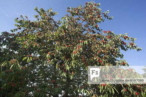 Reife Süßkirschen (Prunus avium) am Baum gegen blauen Himmel  Bayern  Deutschland