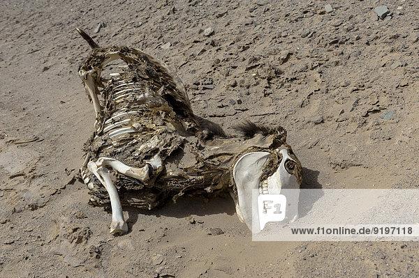 Eselkadaver (Equus asinus asinus) in der Wüste  Bolivien