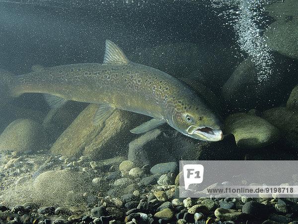 Atlantischer Lachs (Salmo salar)  captive