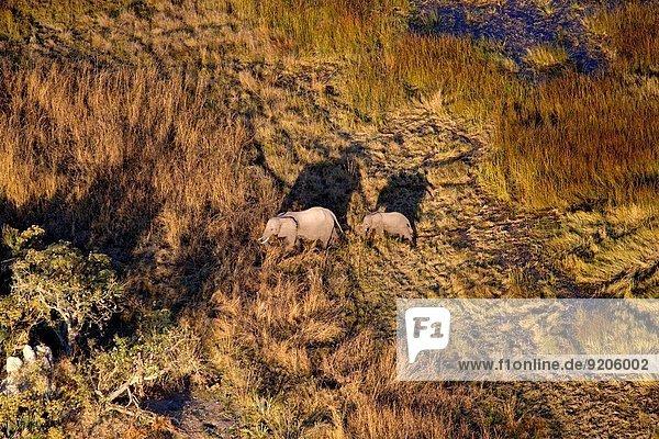African Elephant (Loxodonta africana). Aerial View of the Okawango Delta  Botswana.
