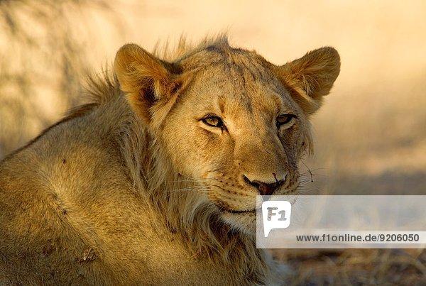 African lion (Panthera leo) - young Male  Kgalagadi Transfrontier Park  Kalahari desert  South Africa.