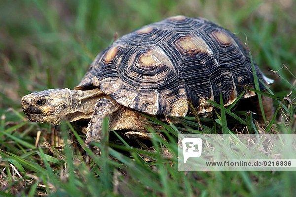 camping Texas Landschildkröte Schildkröte camping,Texas,Landschildkröte,Schildkröte