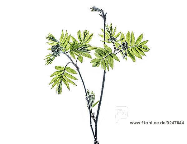 Zweig vom Vogelbeerbaum