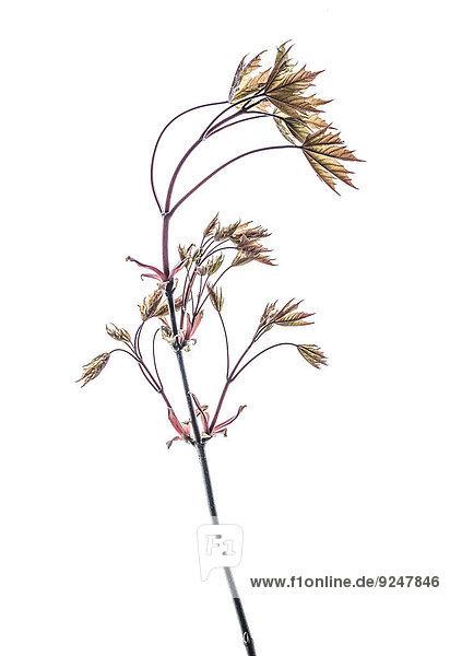 Ahornblatt rot Zweig